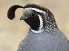 California quail close up