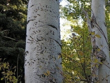 Bear claw imprints on a tree