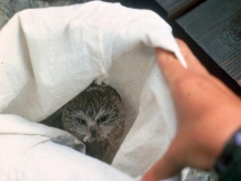 Little owl finds shelter in a white bag